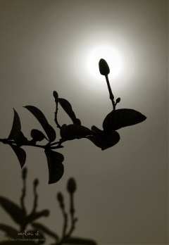 photography flower silhouette light sepia