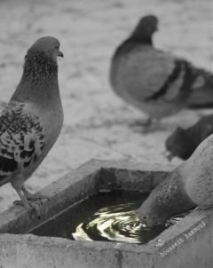 photography bird water blackandwhite