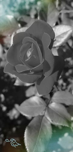 photography blackandwhite bokeh rose
