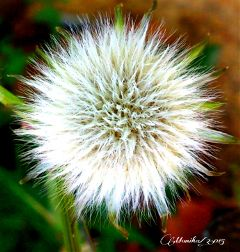 flower dandelion photography macro nature