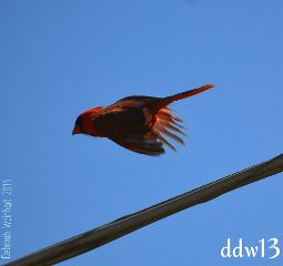 bird flight action nature cardinal