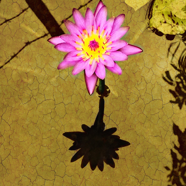 #flower  #concept  #lotus  #colours #nature Can flower bloom in the dessert? Yes. This has.