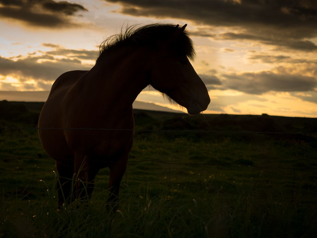 how to photograph Icelandic horses