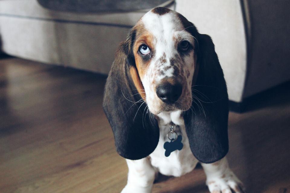 This is Barkley, my stepson's new basset hound puppy  #petsandanimals #cute #dodger #photography